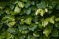 Wall overgrown with ivy plant. Succulent leaves of a beautiful shape. Green floral background. Mixes with dark green and light green leaves. Close up shot