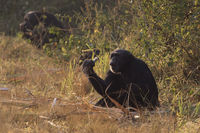 common chimpanzee sitting on the edge of the forest and eating sugarcane