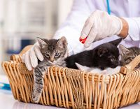 Doctor and assistant in vet clinic checking up kitten