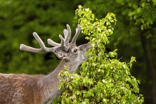 Red deer stag feeding on fresh new leafs of little tree in summer nature
