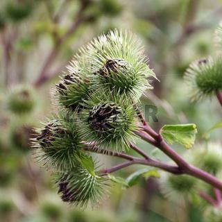 Nahaufnahme von Blütenkörben der Großen Klette, Arctium lappa