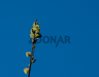 Willow branches with honybee with blue cloudless sky
