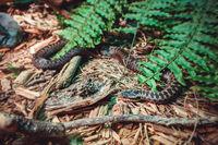 Asp viper in forest