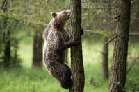 Young brown bear climbs a tree in summer forest with green blurred background