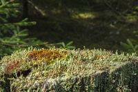 Close up at Trumpet lichen on a tree stump