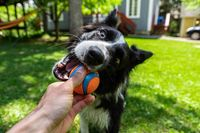 Dog holding ball and playing with master