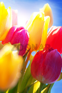 Close Up Of Tulip Flower Meadow Waterdrop In front Of Sunny Blue Sky