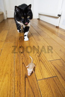 Cat creeping up on a mouse