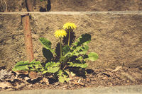 Two dandelion flowers growing together