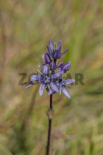 Sumpf-Enzian  'Swertia perennis'