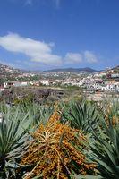 Drachenbaum mit Früchten, Madeira