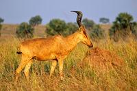 Jackson's Kuhantilope im Murchison Falls Nationalpark Uganda (Alcelaphus buselaphus lelwel) | Jackson's hartebeest, Murchison Falls National Park Uganda (Alcelaphus buselaphus lelwel)