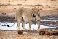 Lioness at Etosha National Park, Namibia
