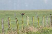 Uferschnepfe, Limosa limosa, black tailed godwit