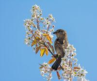 Sparrow bird sitting on a white flowering tree