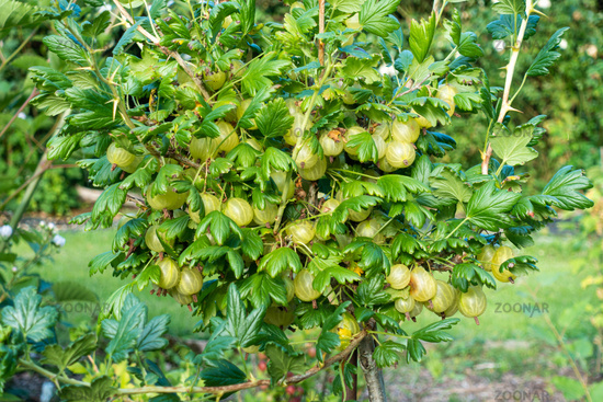 Stachelbeerbusch mit fast reifen Beeren im Garten, Deutschland