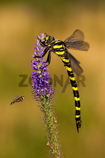 Golden ringed dragonfly sitting on violet wildflower and fly fling around