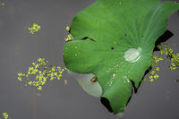 Droplets of water in the big leaf of a lotus flower