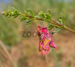 Kleiner Weinschwärmer 'Deilephila porcellus'