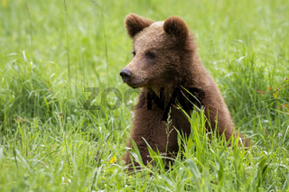 Adorable brown bear cub sitting in spring nature with green blurred background.