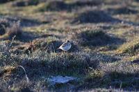 Eurasian skylark (Alauda arvensis) Oeland Sweden