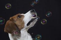 Beagle mit Seifenblasen