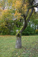 Malus domestica, Apfelbaum, Apple tree, Baumruine, dead tree