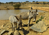 Esel an einer Wasserstelle in den Hawzien Ebene