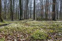 Waldboden mit Buschwindroeschen