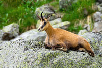 Relaxed tatra chamois resting on hillside in rocky mountain environment
