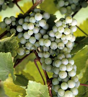 Weintrauben, Weisser Riesling