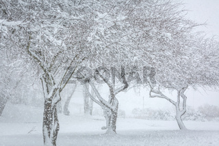 Three snow covered trees in falling snow