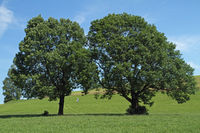 Zwei Bäume