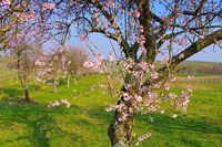 Mandelbluete in der Pfalz im Frühling - almond blossom in Rhineland Palatinate in spring, Germany