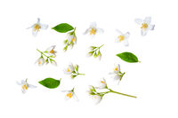 Set of beautiful jasmine flowers and branchs isolated on white background closeup. Top view. Copy space