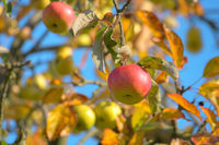 Close-up shots of beautiful apple tree in the late summer.