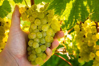 Grapes harvest. Farmer is holding a ripe white grapes in vineyard