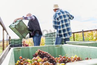 Erntehelfer packen Weintrauben in Kisten