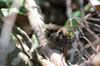 Eurasian wren (Troglodytes troglodytes) chick waiting for food
