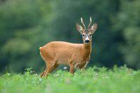 Roe deer buck standing on meadow in summertime nature.
