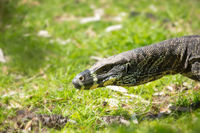 Close up of goanna lizard in Australia