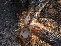 von Biber umgenagter Baum