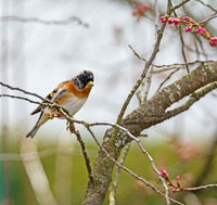 Brambling bird on the twig of a tree