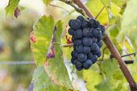 Blaue Weintrauben (Vitis sp.) am Rebstock