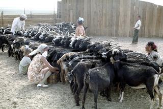 Mongolische Aratenfamilie beim Melken ihrer Ziegen, Foto von 1977