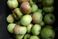 Malus domestica Ontario, Apfel, Apple