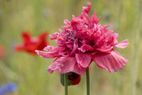 Rosa Mohnblüte