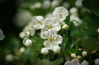 Blüten eines eingriffeligen Weißdorn (Crataegus monogyna)