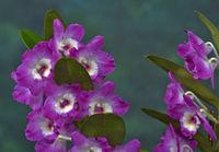 Orchidee, Dendrobium amabile, orchid dendrobium