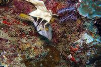 Canthigaster valentini Sattel-Spitzkopfkugelfisch oder Sattel-Krugfisch